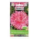Aster chryzantemowy różowy Pola 1g