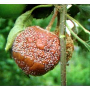 Jabłoń brunatna zgnilizna drzew ziarnkowych
