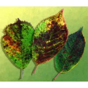 Wiśnia drobna plamistość liści drzew pestkowych